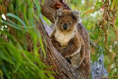 Koala - Phascolarctos cinereus on the tree in Australia, climbing and watching face to face stock photos