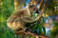 Koala - Phascolarctos cinereus on the tree in Australia. Eating, climbing stock image