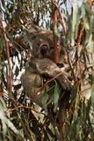 Koala. Koala, Phascolarctos cinereus stock photography