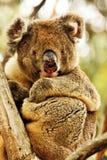 Koala,Phascolarctos cinereus,unique marsupial,Australia Stock Image