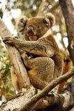 Koala,Phascolarctos cinereus,unique marsupial,Australia Stock Photos