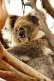 Koala,Phascolarctos cinereus,unique marsupial,Australia Royalty Free Stock Images