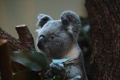 Koala (Phascolarctos cinereus). Royalty Free Stock Photography