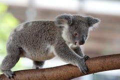 Koala & x28; Phascolarctos cinereus& x29; Obraz Stock