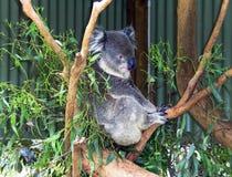 Koala - Phascolarctoscinereus - Australien Fotografering för Bildbyråer