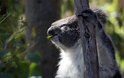 Koala in Phillip Island Nature Park Stock Afbeeldingen