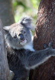 Koala at Phillip Island Nature Park. In Phillip Island Nature Park, a 90-minute drive from Melbourne. You can see the koalas that live here from very close Royalty Free Stock Photography