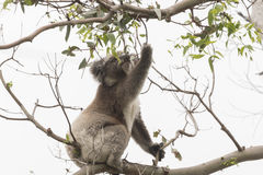 Koala picking eucalyptus leaves to eat. Koala on an eucalyptus tree picking leaves to eat Royalty Free Stock Photos
