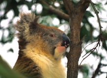 Koala Portrait Stock Photo