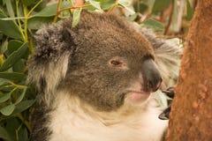 Koala portrait stock images