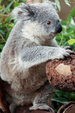 Koala portrait Royalty Free Stock Photography