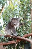 Koala portrait. A portrait of a koala on a tree Stock Photography