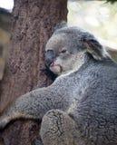Koala portrait in Chiang Mai Zoo, Thailand royalty free stock photos