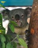 Koala. Portrait of cute photogenic koala sitting in a gum tree stock image