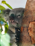 Koala. Portrait of cute photogenic koala sitting in a gum tree royalty free stock image