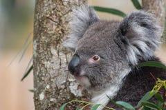Koala Portrait stock photography