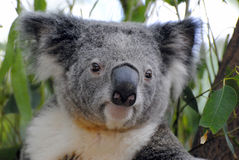 Koala portrait. Stock Photos