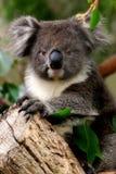 Koala Pose. A koala seems to be pose in a gum tree in South Australia royalty free stock photos