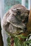 Koala Przy odpoczynkiem Obraz Royalty Free