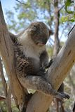 Koala przysypia daleko od na eukaliptusowym drzewie Fotografia Royalty Free