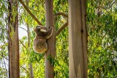 Koala que abraza un árbol en un bosque en Victoria, Australia fotografía de archivo