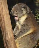 Koala que bosteza Imagen de archivo libre de regalías