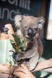Koala que come las hojas Fotografía de archivo libre de regalías
