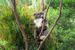 Koala que come las hojas de la goma en el árbol