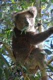 Koala que come o eucalipto foto de stock