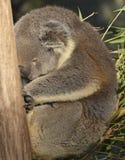 Koala que deriva apagado para dormir mientras que se aferra en un tronco de árbol Imagenes de archivo
