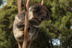 Koala que descansa sobre árbol Imagenes de archivo