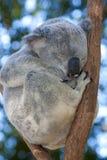 Koala que duerme en un árbol Foto de archivo libre de regalías