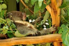 Koala que encontra-se em no sua parte traseira e sono imagens de stock royalty free