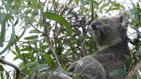 Koala que escucha el descortezamiento del perro almacen de metraje de vídeo