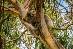 Koala que mira abajo de un árbol en Australia Fotografía de archivo libre de regalías