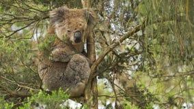 Koala que mira abajo de un árbol en una reserva en Australia almacen de metraje de vídeo