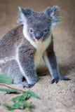 Koala que se sienta en la arena que anticipa Imagenes de archivo