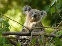 Koala que se sienta en la ramificación Fotos de archivo libres de regalías