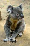 Koala que se sienta en la tierra imagen de archivo