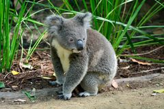 Koala que se sienta en la tierra foto de archivo