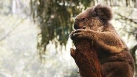 Koala que se sienta en un árbol almacen de metraje de vídeo