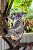 Koala que se sienta en una rama Fotografía de archivo