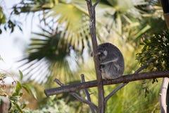 Koala que se sostiene sobre árbol Fotografía de archivo libre de regalías