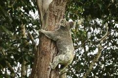 Koala que sube Foto de archivo libre de regalías