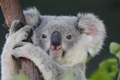 Koala in Queensland. Koala on eucalyptus tree in Queensland, Australia stock image