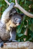 Koala reaching for branch above its head Stock Photography
