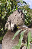 Koala reaching for eucalyptus leaf Royalty Free Stock Image