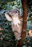Koala reaching for gum leaves stock images