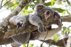 Koala relaksuje w drzewie, Australia Fotografia Royalty Free