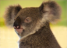 Koala relaxed and alert. Young koala relaxing in captivity stock image